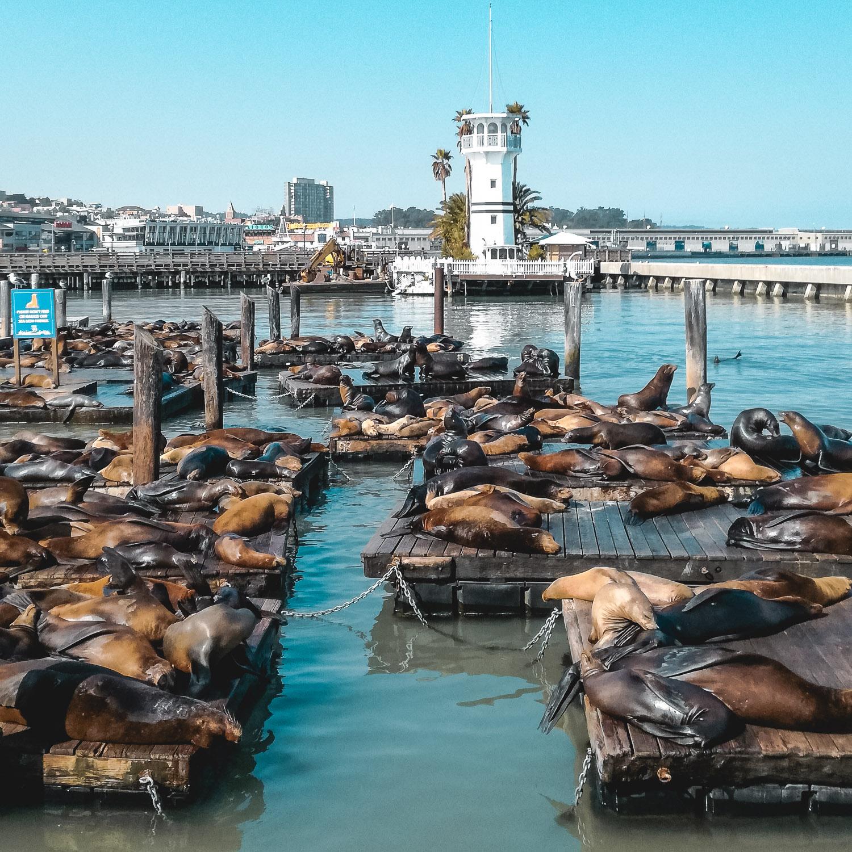 Pier 39 Robben auf Steg San Francisco